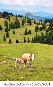 Mother cow and calf at Velika planina / Big Pasture Plateau in Slowenia, Europe - Shutterstock ID 1826574851