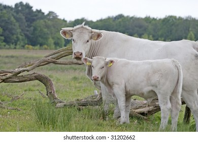 A mother cow standing in the grassland with her calf