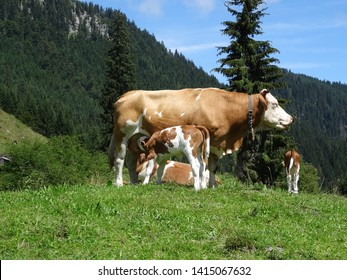 mother cow and suckling calf at an alpine meadow at Brander Alm near Ruhpolding, bavarian alps, Germany