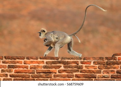 Mother and cub running on the orange brick building, urban wildlife of Sri Lanka. Common Langur, Semnopithecus entellus, mammal with very long tail.