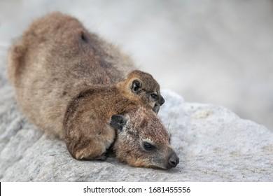 mère et bébé juif de Daman (hyrax) allongé sur les rochers d'Afrique du Sud