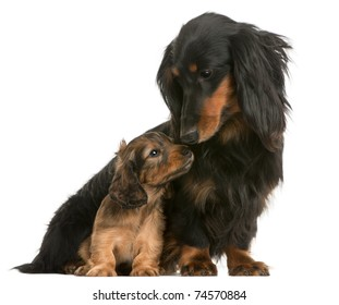 Mother Dachshund, 4 years old, and her puppy, 5 weeks old, in front of white background