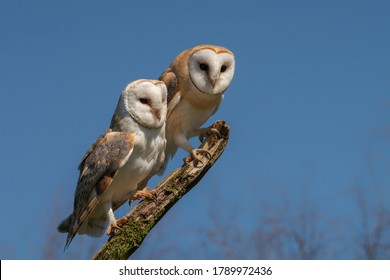 Mother and daughter Barn owl (Tyto alba) on a branch. . Noord Brabant in the Netherlands. Blue sky background.