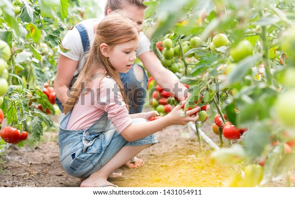 Mother and daughter harvesting fresh tomatoes at farm