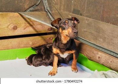 Mother dog with litter of newborn jack russell terrier puppies in a whelping box with a warming lamp.