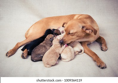 Mother Dog Nursing and Cleaning Her Puppies