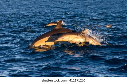 A mother dolphin and her calf jumping out of the water side by side off the coast of Napier, New Zealand