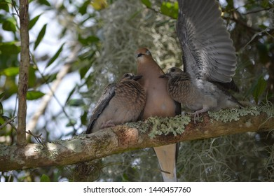 Mother dove with eyes closed perched on branch with two baby birds with open wing.