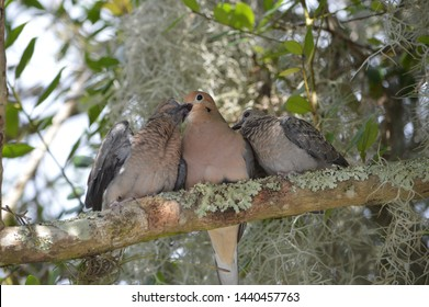 Mother dove feeding baby birds perched on branch in mossy tree.