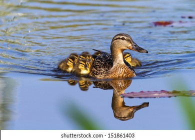 Mother Duck (Anas platyrhynchos) with her new born offspring in the Netherlands in spring
