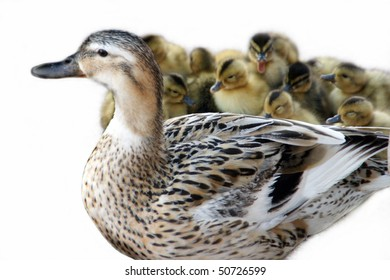 Mother Duck with baby ducklings.