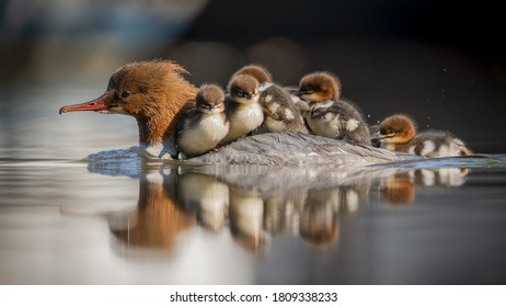 Mother duck carrying ducklings on her back to the other side of pond. Adorable ducklings.