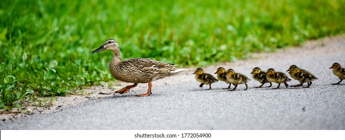 Mother duck with ducklings crosses the road. Ponarama.