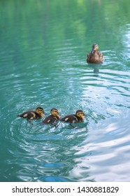 Mother duck and ducklings float in the lake. Cute duckling on swimming. Duck and duckling in pond