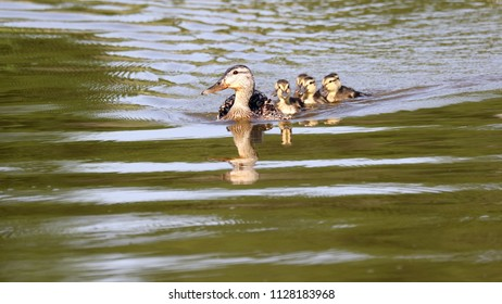Mother duck and her ducklings.