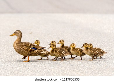 A mother duck and her ducklings crossing a road in a line. There are seven ducklings following the mother.