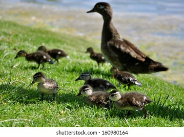 A mother duck and her flock of ducklings in grass at the lake