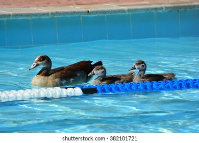 A mother duck with her two ducklings floating on the surface of a public swimming-pool outdoors.
