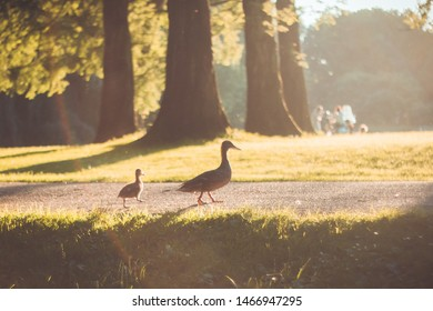 Mother duck leading a little duckling in the park at sunset