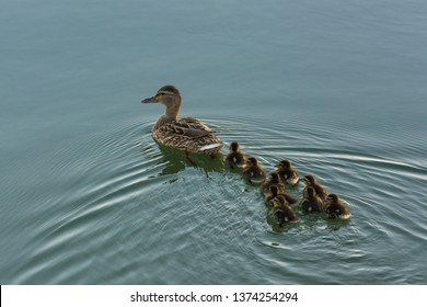 Mother Duck Swimming with its Offsprings on the Lake