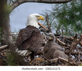 Mother Eagle and baby in pine tree nest in the wild
