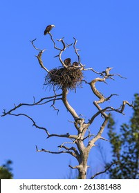 A mother Eagle perches at the top of a dead tree above her nest a young keeping watch as the sun goes down.
