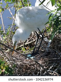 Mother Egret carefully tending to her pretty blue eggs in her nest