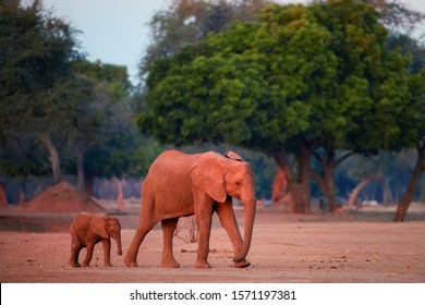 Mother elephant with baby elephant coming out of the bush to drink from the Zambezi River. African elephant family illuminated by reddish light, side view. Mana Pools environment, traveling  Zimbabwe.