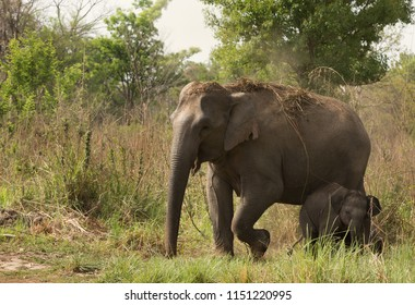 Mother elephant and calf,  National Park, India