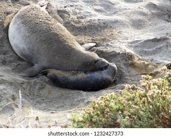 Mother Elephant Seal with her newborn pup just moments after the birth