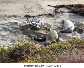 Mother Elephant Seal with her newborn pup just moments after the birth - Gulls frenzy over the afterbirth