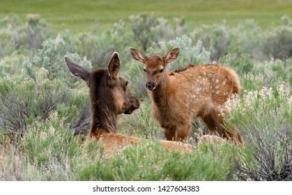 Mother Elk and calf close up
