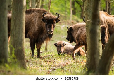 Mother european bison with calf in forest
