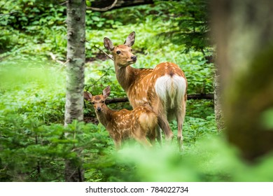 A mother Ezo shika deer (Cervus nippon yesoensis) and her fawn look back on a summer day in a forest near Kamuiwakka Falls in Shiretoko National Park and World Heritage Site, Hokkaido, Japan