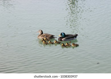 mother and father ducks with family