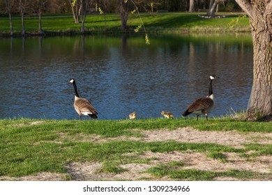 A mother and father geese family protects their two newborn baby chicks on the bank of a pond.