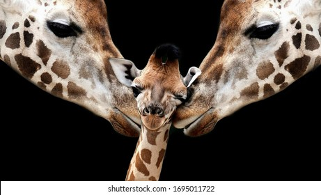 Mother And Father Giraffe Playing With Her Baby