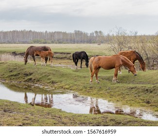A mother with a foal and other horses calmly graze in a pasture near the water. In the background is a forest.