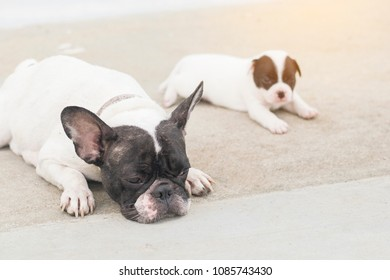 mother french bulldog lying on floor with her adorable baby puppy cub copy imitate her position with copy space