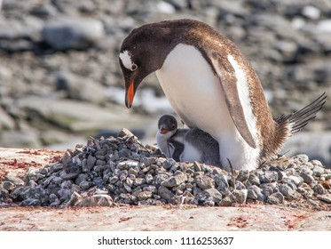 A Mother Gentoo Penguin and Her Baby Chick in Antarctica