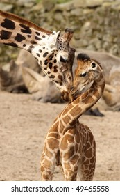 Mother giraffe cuddling with its baby
