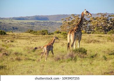 A mother giraffe ( Giraffa Camelopardalis)  with a baby, Shamwari, South Africa.