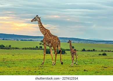 A mother giraffe with her baby. Maasai Mara National Reserve, Kenya.