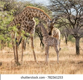 A mother Giraffe and her calf in Southern African savanna