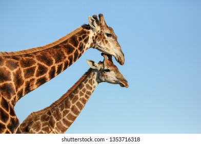 Mother giraffe with young against blue sky