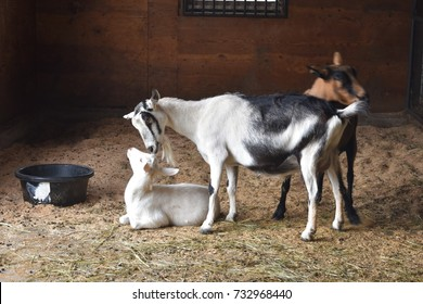 Mother goat and baby