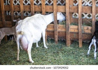 Mother Goat Eating Hay