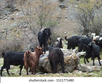 Mother goat and her babys in the village. Animal husbandry concept. Goats is grazed on a green meadow . Goat with a goat kid. Concept of goat milk