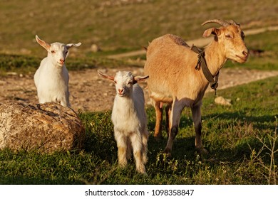 Mother goat and her kid