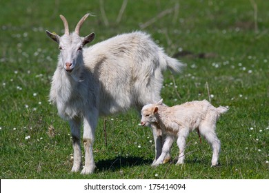 Mother goat with newborn baby
